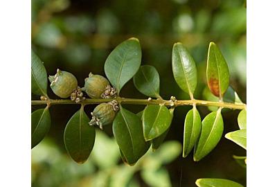 3 schöne Alternativen zum Buchsbaum