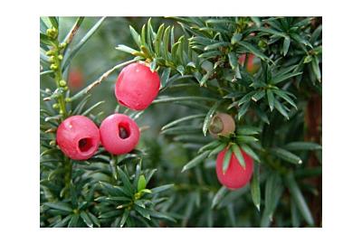 Die schönsten Ideen für Eibe im Garten