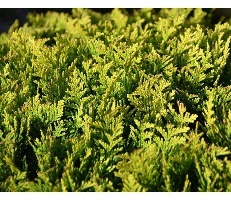 Welche Sorten der Kalifornischen Scheinzypresse gibt es?