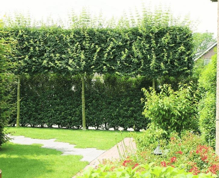 Immergrüne Bäume für kleine Gärten