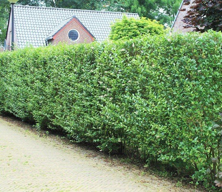 Schnellwachsende Pflanzen für Ihre immergrüne Hecke