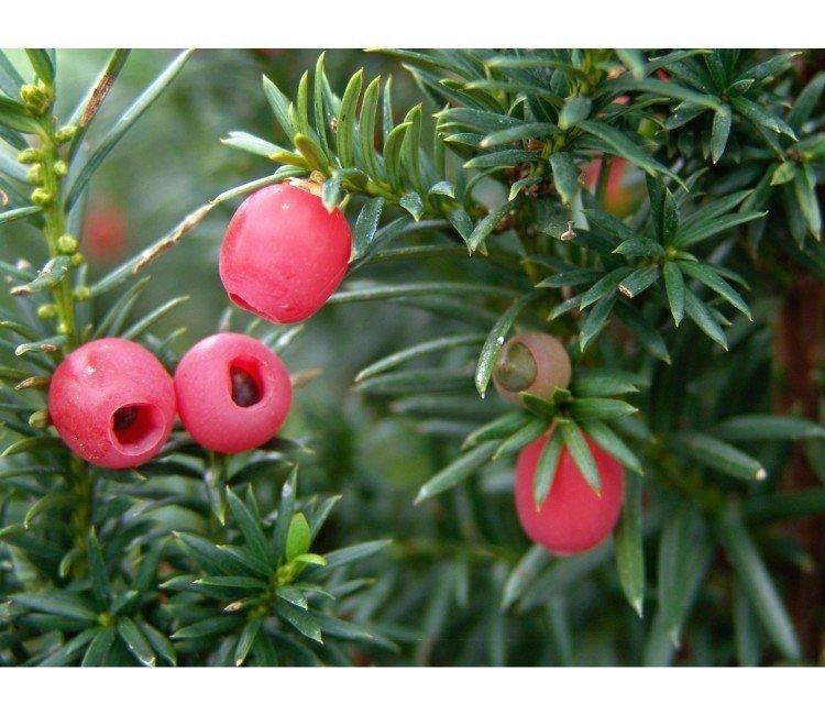 Welche Sorten der Eibe bekommen im Herbst (keine) Beeren?