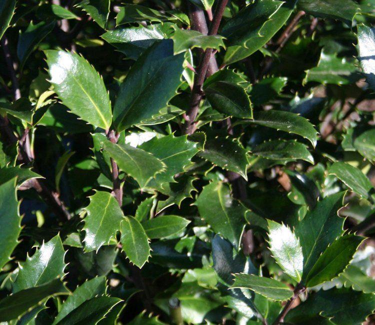 Sind alle immergrünen Sträucher winterhart? - Gartenmythen aufgeklärt