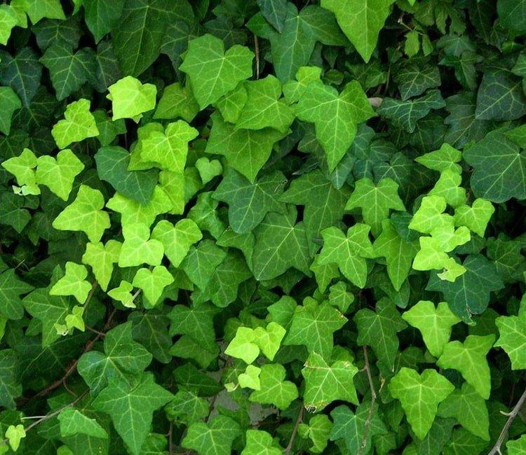 Grün im Winter: Immergrüne Kletterpflanzen als Sichtschutz