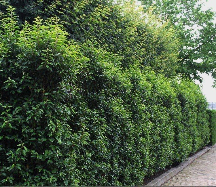 Niedrige Heckenpflanzen lassen kleine Gärten größer wirken