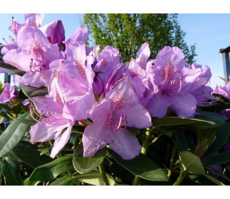 Rhododendron gießen: So machen Sie es richtig!