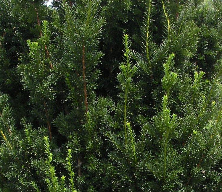 Pflanzabstand Eibe - Wie viele Eiben pro Meter pflanzen?