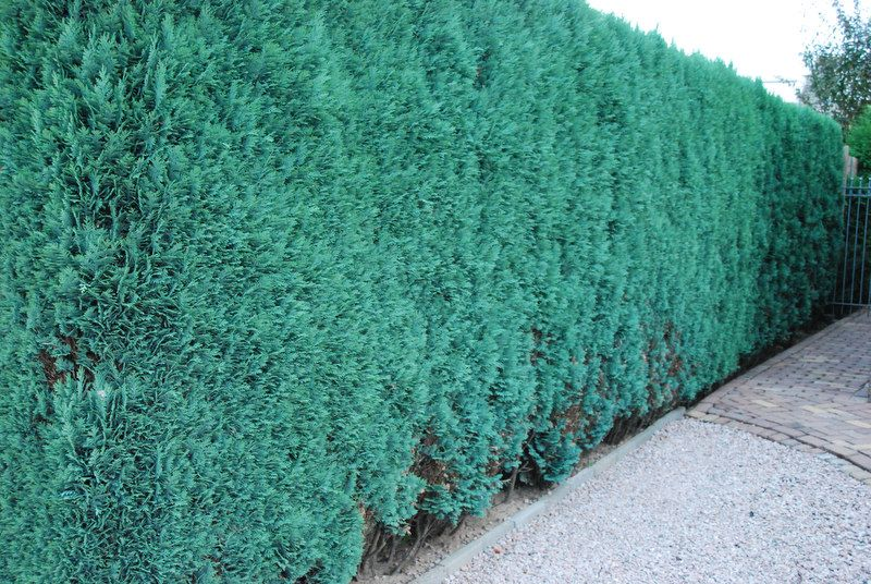 Blaue Scheinzypresse