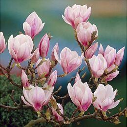 Tulpen-Magnolie Soulangeana