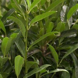 Kirschlorbeer prunus laurocerasus Herbergii