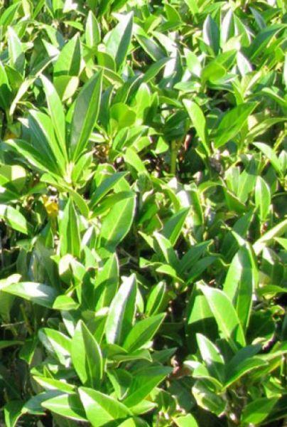 Kirschlorbeer Prunus laurocerasus Caucasica