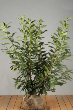 Kirschlorbeer 'Novita' Wurzelballen 100-125 cm Extra Qualtität