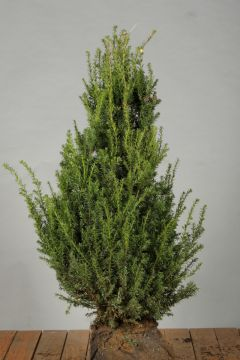 Eibe (60-80 cm) Extra Qualtität