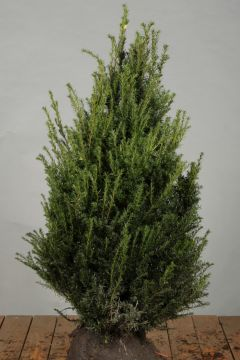 Eibe (80-100 cm) Extra Qualtität
