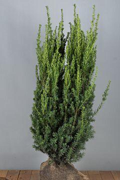 Becher-Eibe 'Hilli' (100-125 cm) Extra Qualtität