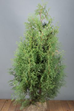 Lebensbaum 'Brabant' (125-150 cm) Extra Qualtität