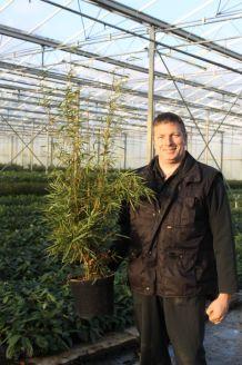 Bambus (100-125 cm) Topf