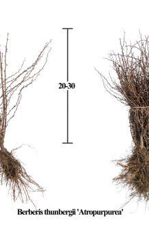 Blutberberitze Wurzelware 20-30 cm Wurzelware