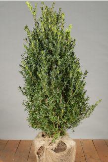 Buchsbaum (60-80 cm) Wurzelballen