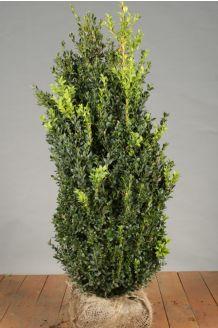 Buchsbaum (80-100 cm) Wurzelballen