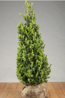 Buchsbaum (100-125 cm) Wurzelballen