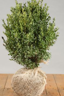 Buchsbaum (30-40 cm) Wurzelballen