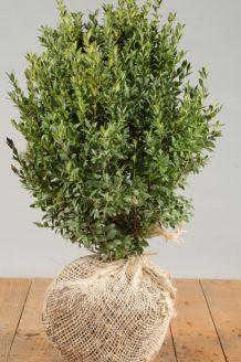 Buchsbaum (40-50 cm) Wurzelballen
