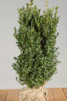 Buchsbaum (50-60 cm) Wurzelballen