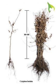 Hainbuche (80-100 cm) Wurzelware