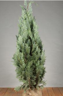 Blaue Scheinzypresse (100-125 cm) Extra Qualtität Wurzelballen