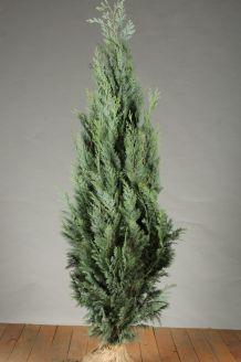 Blaue Scheinzypresse Wurzelballen 125-150 cm Extra Qualtität Wurzelballen