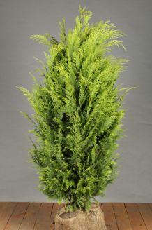 Gelbe Scheinzypresse Wurzelballen 125-150 cm Extra Qualtität Wurzelballen
