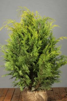 Gelbe Scheinzypresse Wurzelballen 80-100 cm Extra Qualtität Wurzelballen