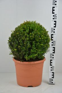Eibe Kugel (30 cm) Topf
