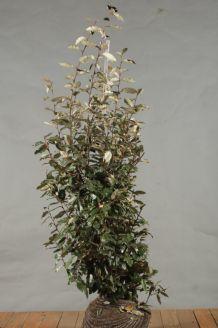 Oelweide (150-175 cm) Wurzelballen