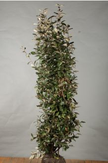 Oelweide (175-200 cm) Wurzelballen