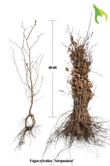 Blutbuche Wurzelware 40-60 cm Wurzelware