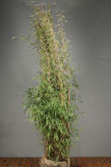 Bambus (200-225 cm) Wurzelballen