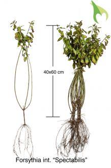 Forsythie 'Spectabilis' Wurzelware 40-60 cm Wurzelware