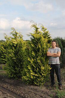 Gelbe Scheinzypresse (200-225 cm) EXTRA Wurzelballen