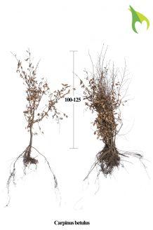 Hainbuche (100-125 cm) Extra Qualtität Wurzelware