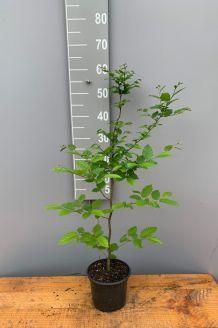 Hainbuche (40-60 cm) Topf