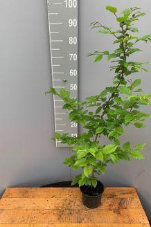 Hainbuche (80-100 cm) Topf