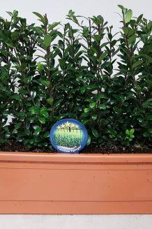 Japanische Stechpalme Fertig-Hecken 30+ cm Fertighecke