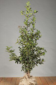 Stechpalme Ilex 'Alaska' Wurzelballen 100-125 cm Wurzelballen