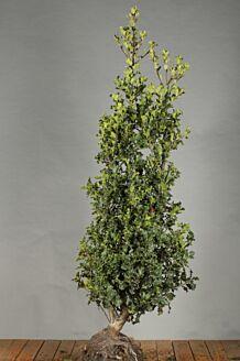 Stechpalme Ilex 'Alaska' Wurzelballen 150-175 cm Wurzelballen