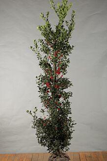 Stechpalme Ilex 'Alaska' Wurzelballen 200-225 cm Wurzelballen
