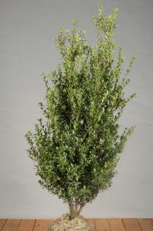 Japanische Stechpalme Wurzelballen 100-125 cm Wurzelballen