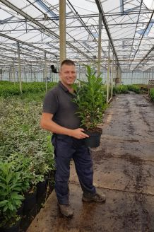 Kirschlorbeer 'Genolia' Topf 60-80 cm Topf