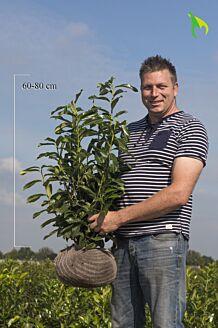 Kirschlorbeer 'Genolia' Wurzelballen 60-80 cm Wurzelballen